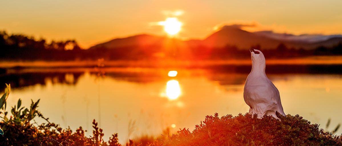 Ripa i solnedgång